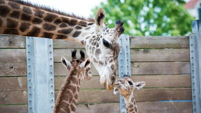 Nace una nueva jirafa de la especie Masai en el  Zoológico de Houston