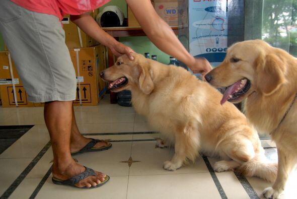 Desde pequeños, los cachorros están acostumbrados a las pe...