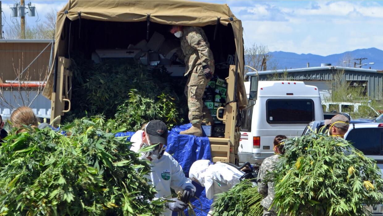 Investigadores cargan plantas de marihuana en un camión de la Guardia Na...
