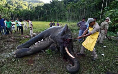 Un cazador remueve el colmillo de un elefante. Un censo realizado en 201...