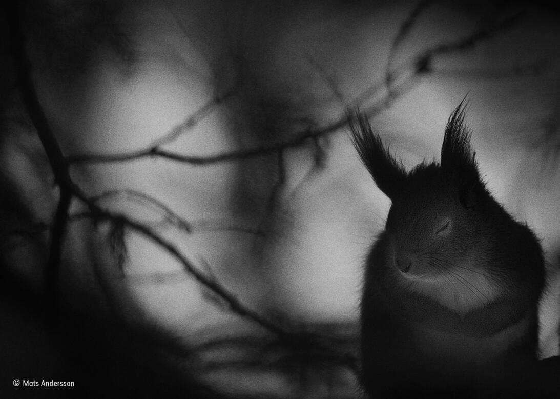 Pausa invernal. Un retrato en blanco y negro de una ardilla roja mientra...