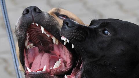 Dos pitbulls, la misma raza del perro involucrado en este caso.