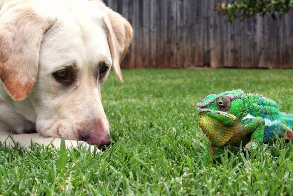Krammer suele recostarse sobre la cabeza del perro, o muy cerca de él.