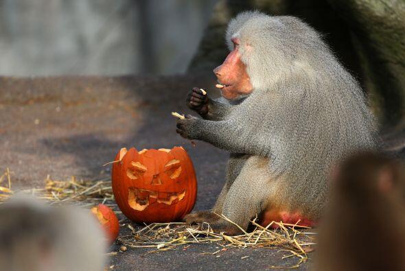 En los Zoológicos, los animales disfratron de una dulce golosina...