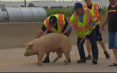 Cerdos causan el cierre de una autopista en Texas luego que el camión qu...