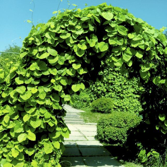 Enredaderas para perfumar y decorar tu jard n univision - Arcos de jardin ...