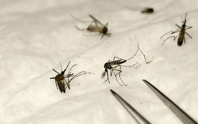 Encuentran en Long Beach al mosquito que transmite virus como el zika o...