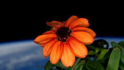 Flor espacio. (Scott Kelly/NASA vía AP)