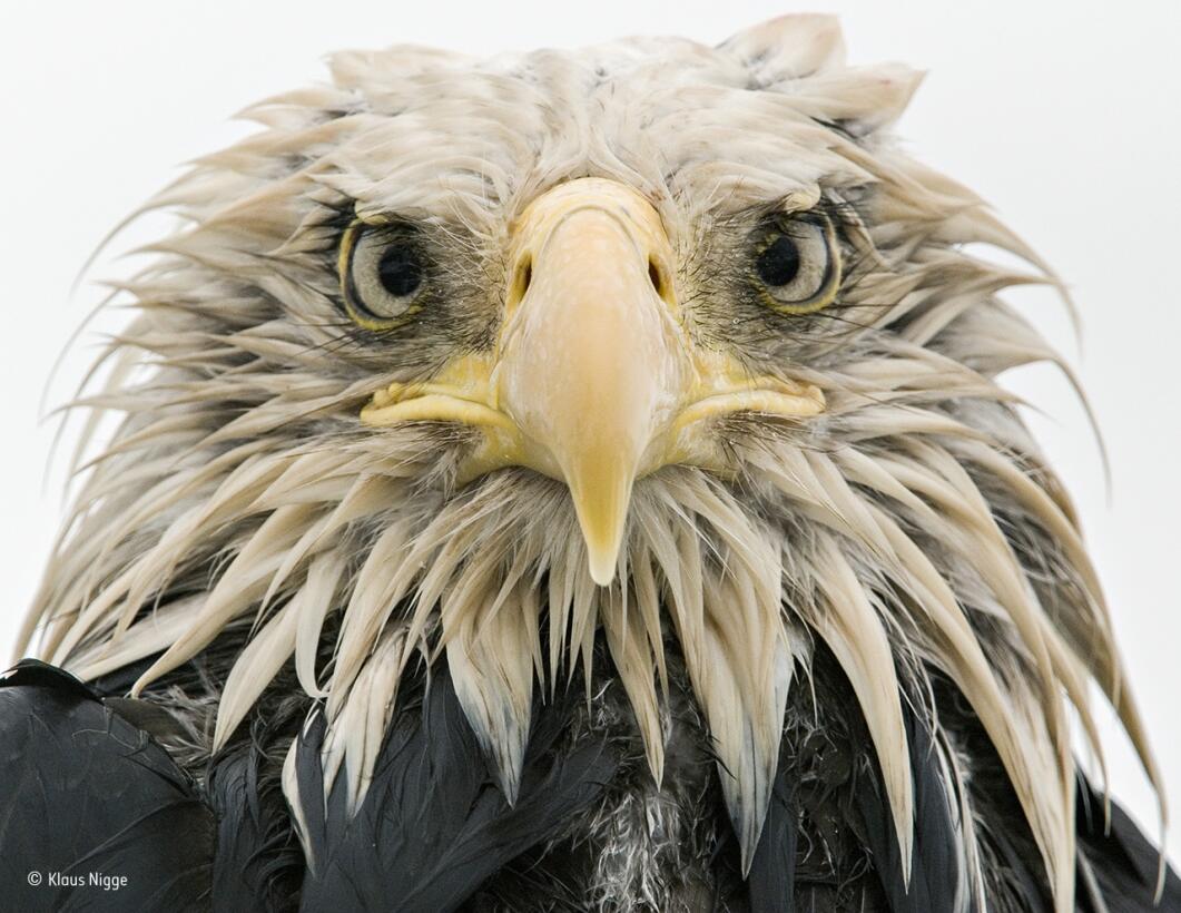 Aguila valiente. Un águila calva mira directo a la cámara, empapada tras...