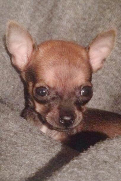 Un centro veterinario de Indianapolis adoptó al bebé chihuahua, después...