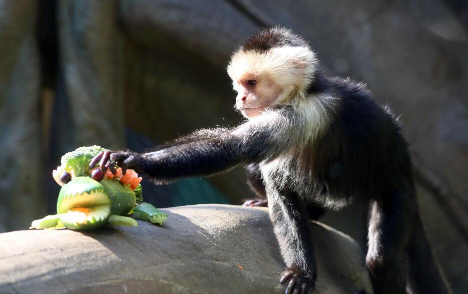 Los animales del Zoológico de Cali recibieron esta semana sus regalos de...