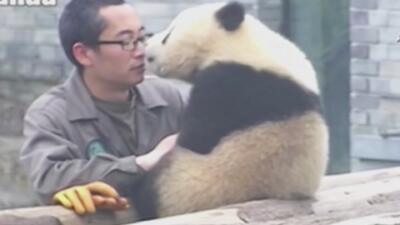 Panda besa a su padre adoptivo