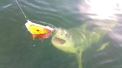 Pescadores ataen en el mar algo más que pargos