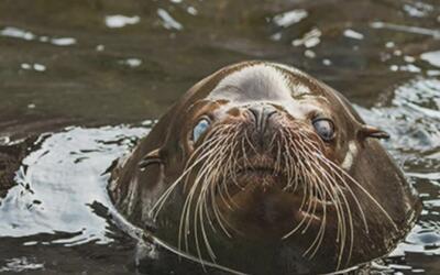 Un león marino ciego es el nuevo integrante del zoológico de Los Ángeles