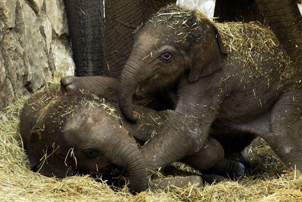 Un bebé elefante asiático juega con otro bebé elefa...