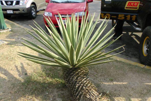 Esta planta nos llamó mucho la atención por ser una especie de palma enana.