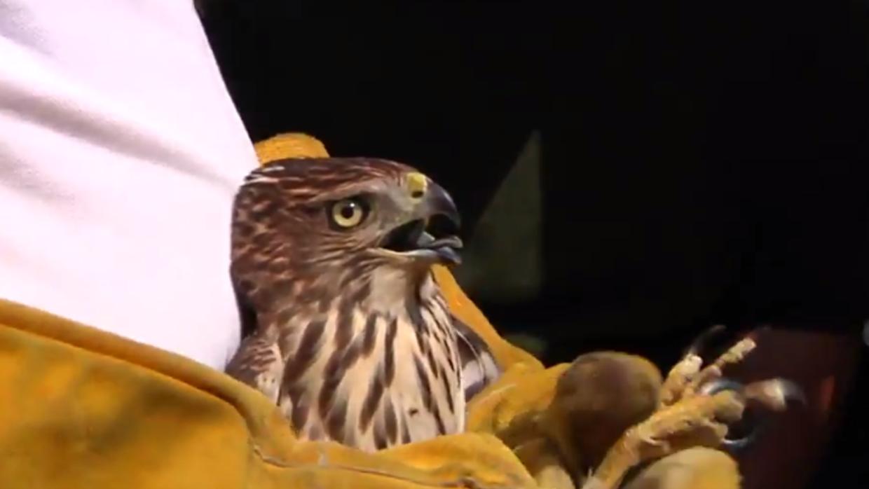 El halcón Harvey resultó ser realmente una hembra joven.