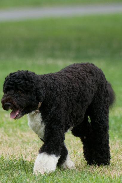 Y el pequeño Bo, la mascota de la familia Obama, no parece ser la...