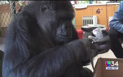 Gorila Koko recibió un regalito especial