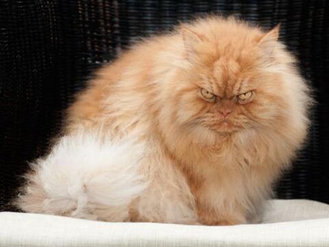 Esta mascota tiene siete años mirando al mundo con esos ojos enoj...