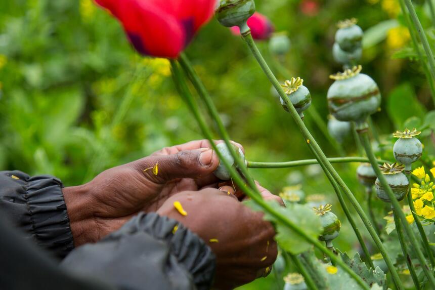 Algunos de los plantíos de amapola son cosechados de manera artesanal po...
