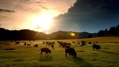 Por qué el bisonte es el mamífero nacional de EEUU