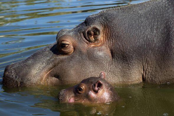 Y aunque es el más buscado, este pequeño 'hippo' no es el...