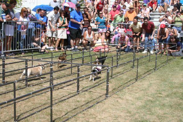 La carrera de chihuahuas es una de muchas actividades que celebran la cu...