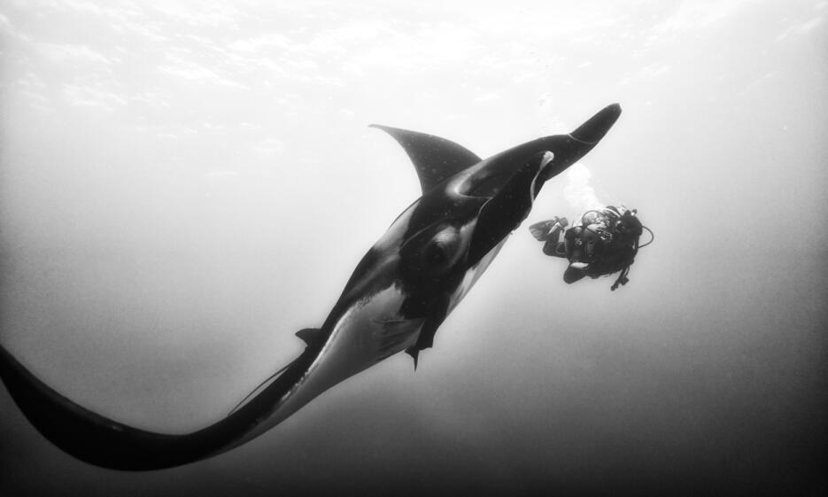 Una manta gigante del Pacífico (Manta birostris) en San Benedicto, Revil...