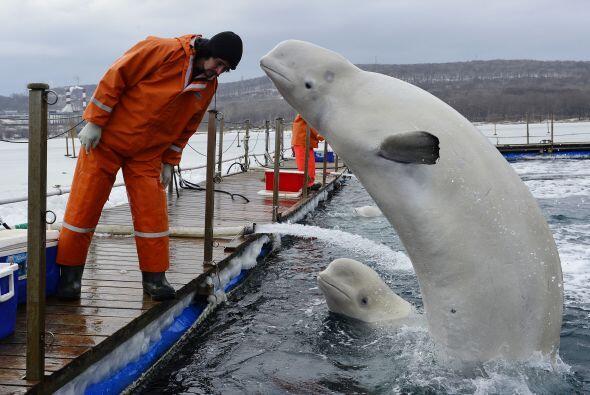 Estos mamíferos se pusieron contentos cuando comenzaron a alimentarlos.