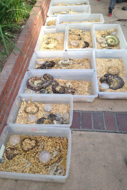 Policía de Santa Ana encontró 400 serpientes de las especies pitón y víb...
