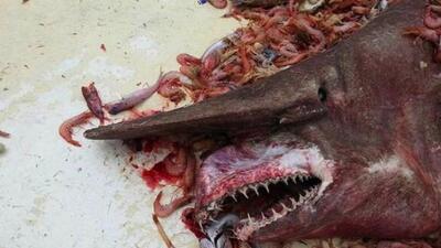 El tiburón duendehabita a unos 5,000 pies de profundidad y se conoce co...