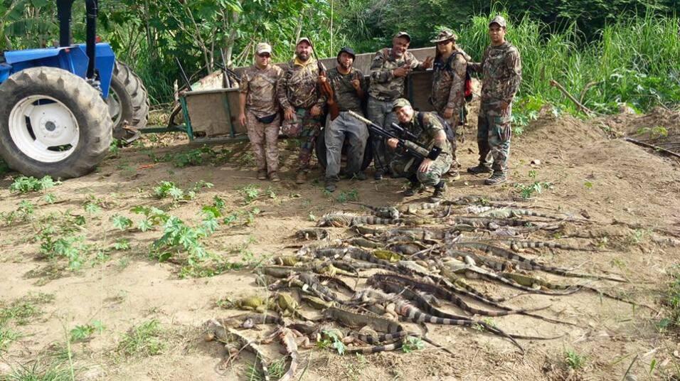 Los Iguaneros de Aguada son un grupo dedicado a erradicar estos reptiles...