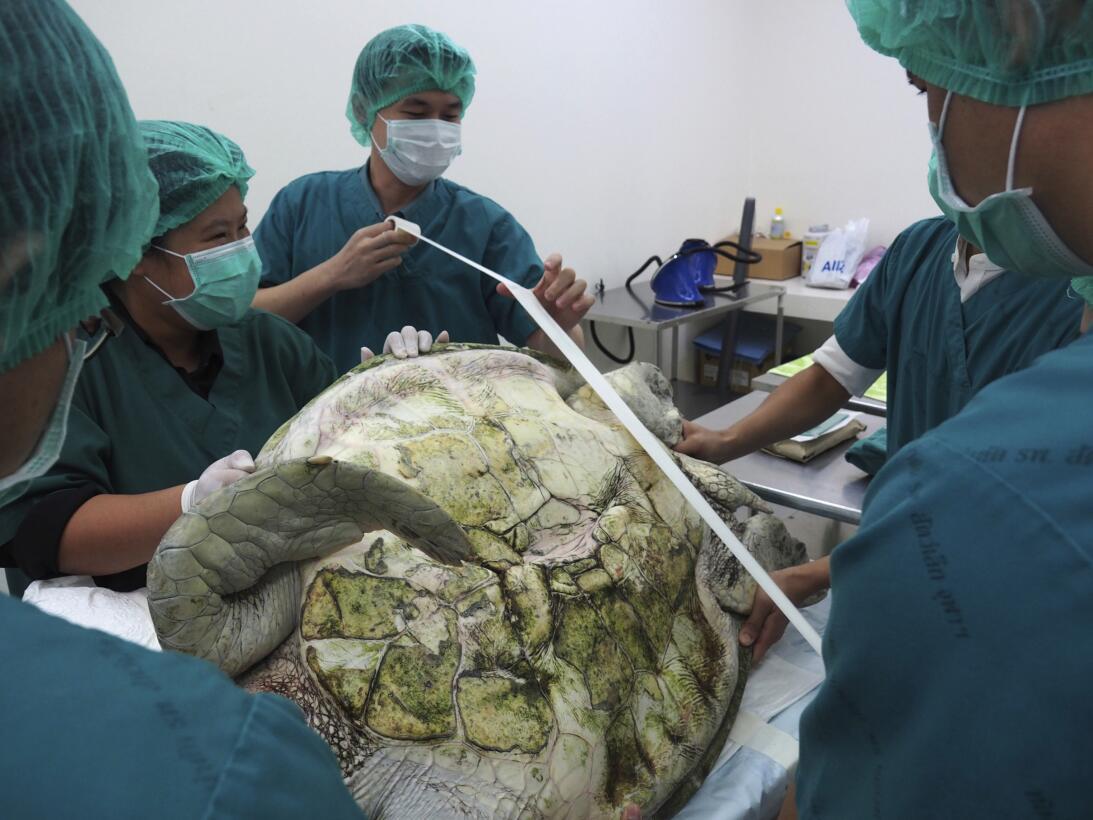 En fotos: la tortuga marina verde a la que le extrajeron 915 monedas del...