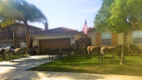 Burros silvestres en el patio de casas de Moreno Valley.