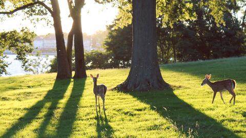 Los ciervos casi habían desaparecido de Staten Island, en Nueva Y...