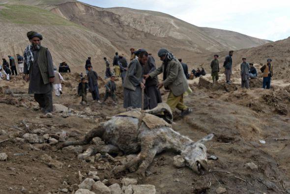 El desastre causó también la muerte de unas 1,500 cabezas de ganado, que...