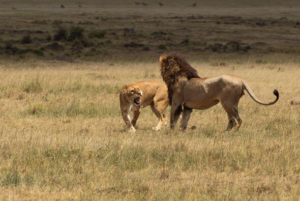 Pero la estrategia no le funcionó al león.