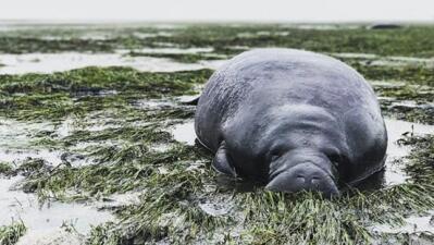 Uno de los manatíes que no tuvo tiempo de moverse con la marea.
