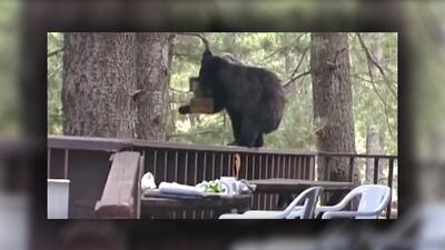 Sacrifican a dos osos en Arizona que intentaron ingresar a viviendas y en las redes sociales cuestionan la medida