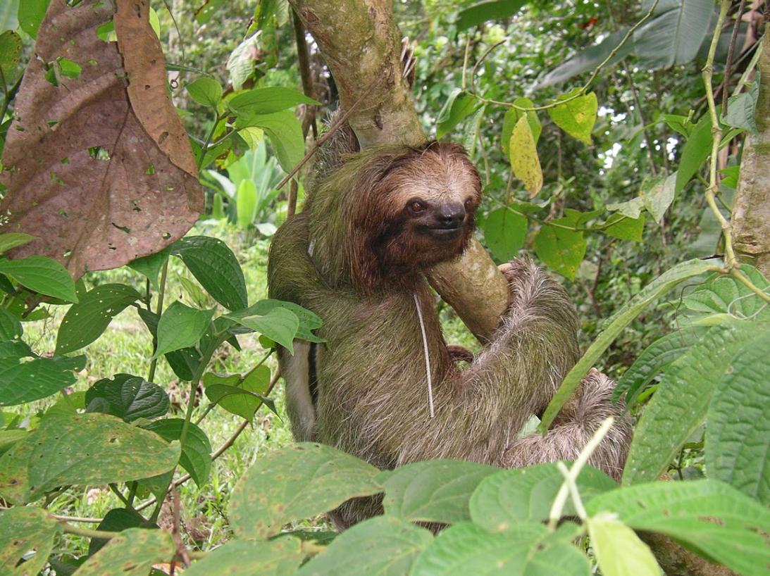Olor. Estos animales no desprenden un mal olor porque no sudan. Eso sí,...