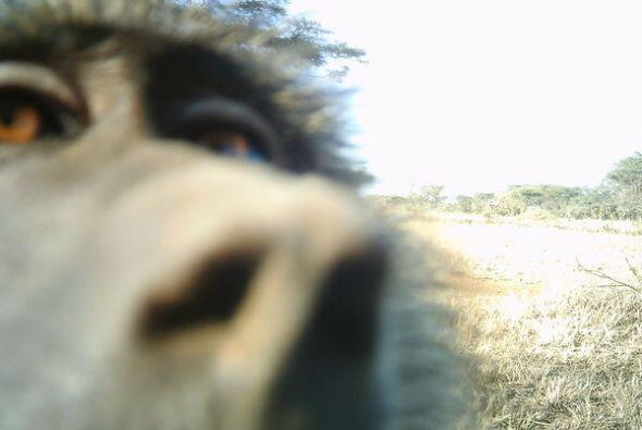 Las cámaras trampa son cámaras que se disparan automáticamente cuando su...