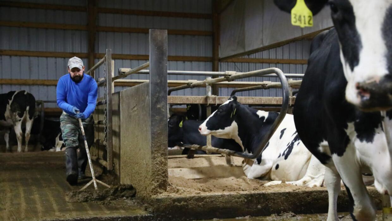 Miguel Hernández limpia el granero en la zona oeste de Wisconsin en el q...
