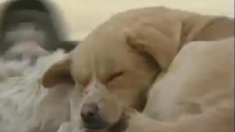 El perrito jamás se alejó de su amiguito atropellado. (Fotografía tomada...