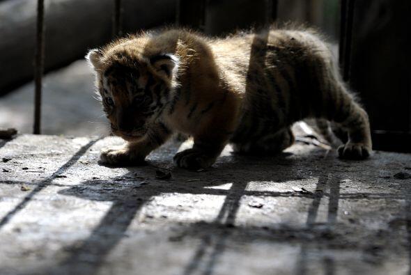 Esta especie es el felino más grande del mundo y son carnívoros.