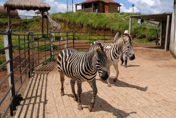 Cebras, hipopótamos, avestruces, suricatas, llamas, canguros, camellos,...