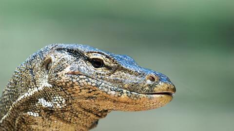 Tráfico de Especies Lagarto%20varano.jpg