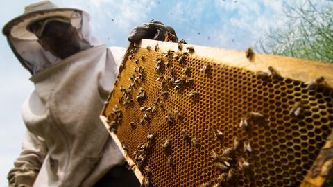 El monzón ha incrementado el ataque de las abejas en Arizona, seg...