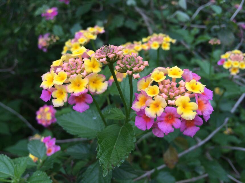 Vistazo a las flores silvestres que adornan la primavera texana