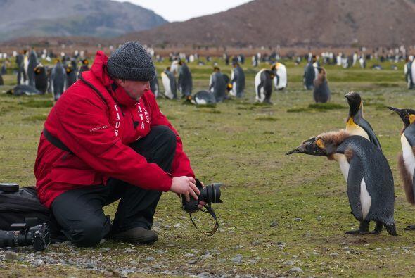 El joven pingüino se nota entre el resto por su pelaje térreo.